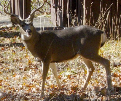 Closeup of a Mule Deer